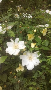 clematis amongst the roses